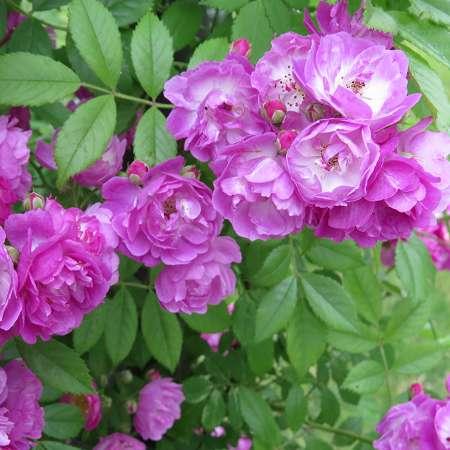 'Perennial Blue'