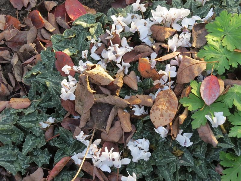 Herbstalpenveilchen