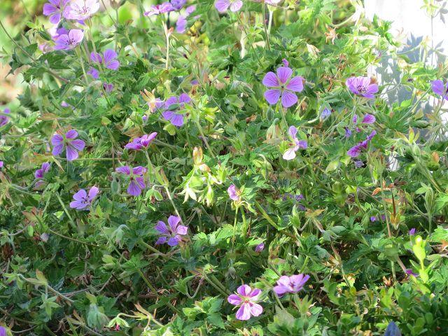 Geranium wallichianum 'Sweet Heidy'